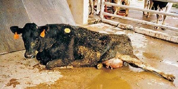 - 2 294 - Sự thật đáng sợ về sữa bò dành cho cha mẹ coi sữa là thần dược