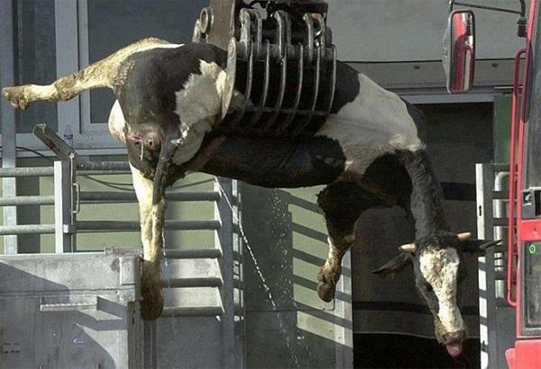- 7 46 - Sự thật đáng sợ về sữa bò dành cho cha mẹ coi sữa là thần dược