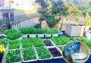 Không cần thuốc trừ sâu, vườn rau vẫn tốt khỏe nhờ bột baking soda dễ kiếm